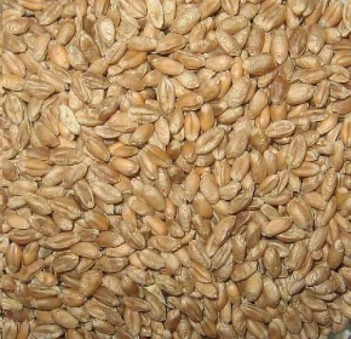 Krmná pšenice 1kg/1q